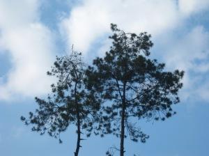 Pinus berbincang dengan awan (photo by Rynari, Bumi Perkemahan Kopeng)