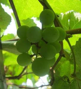 uwit anggur-nya 6S