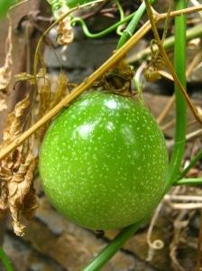 buah markisa hijau mengkilap