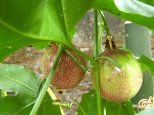 buah markisa mulai menua