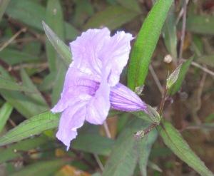 ungu penutup tanah
