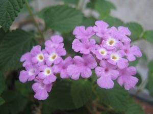 bunga ungu