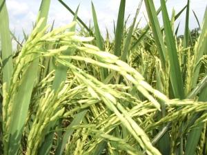 Serumpun padi mengandung janji