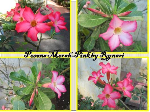 Pesona kamboja merah-pink