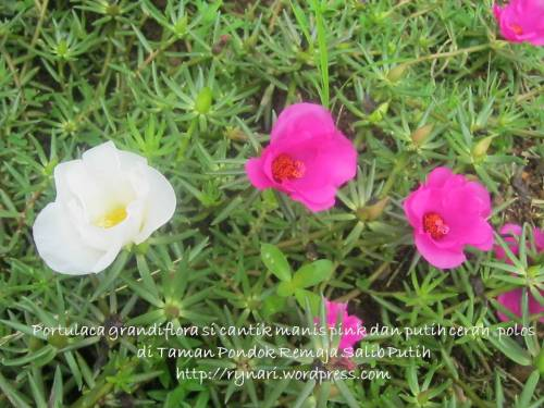 pink juga putih polos