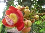 bunga buah 'peluru'-rynari