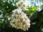 Sakura putih