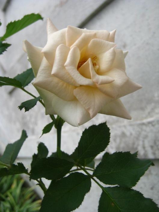 Mawar putih.....dulu lebat dan rajin berbunga