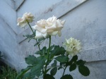 Tiga mawar putih kebanggaan kami