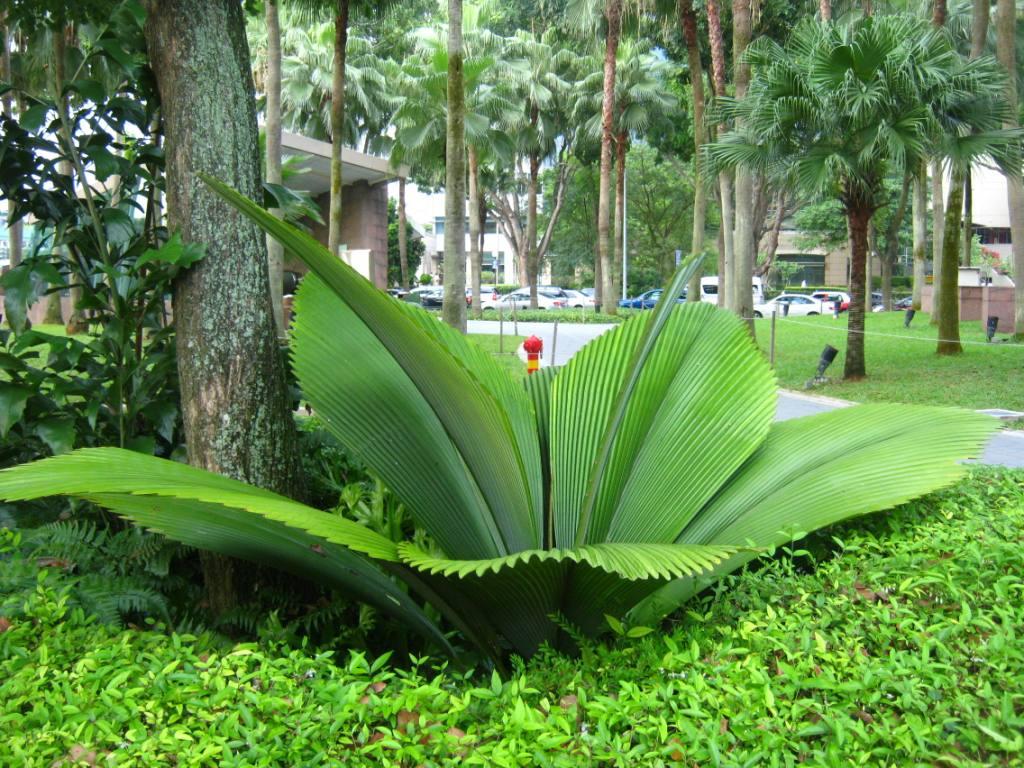 Daun sang merupakan tumbuhan dengan daun yang sangat lebar, bahkan mencapai 1 meter