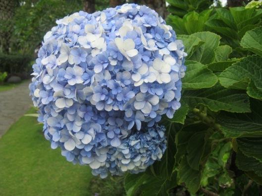 Hydrange/Hortensia bunga persahabatan