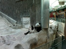 Panda  mengudap bambu (Photo by EP)