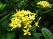 soka kuning  by rynari