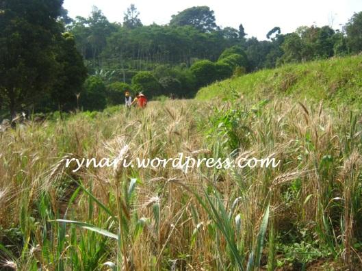ceria di ladang gandum