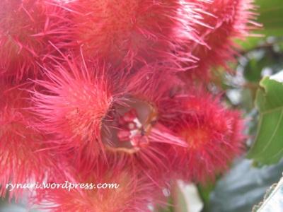 Seed inside Kesumba