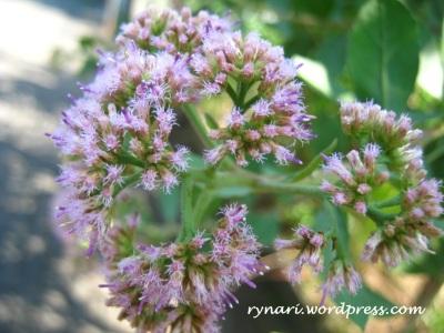 Beluntas (Pluchea indica (L.) Lees.)