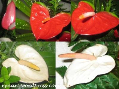 Merah Putih Anthurium