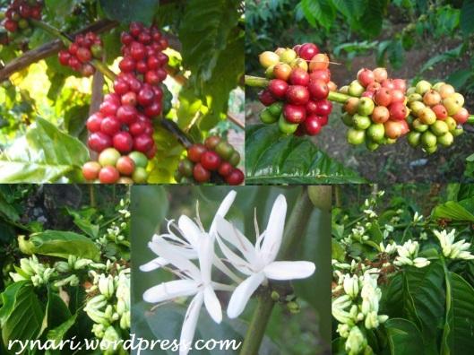 Merah Putih Buah bunga kopi