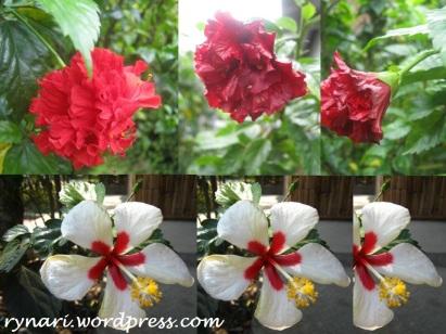 Merah putih kembang sepatu