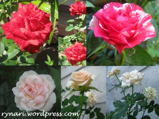 Merah putih mawar