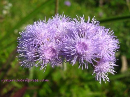 Purple-Ageratum conyzoides