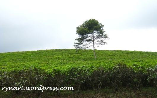 solitary tree-tea plantation
