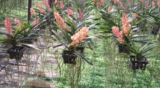 Sae Nam Phung Orchid Mae Rim