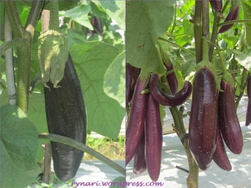 Terong hitam vs ungu