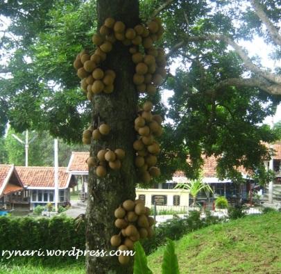 Kepel di Taman GMK Ambarawa