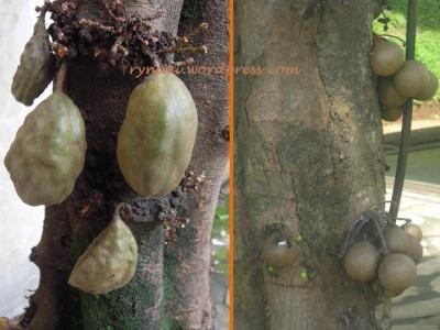 Namnam- Kepel buah menempel di batang