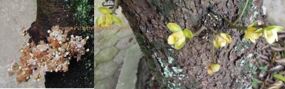 Namnam-kepel (ki-ka) bunga nan mungil