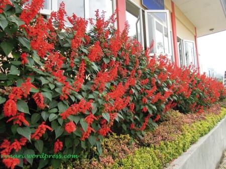Merah menyala di kebun Rumah Puisi