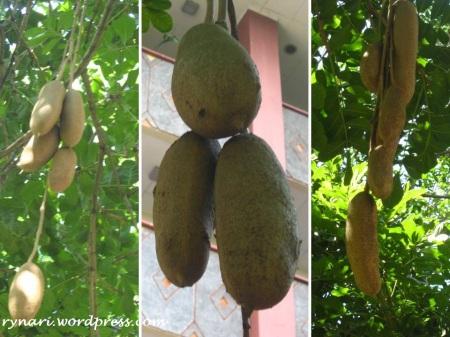 Tanaman Buah Sosis-buah di Salatiga