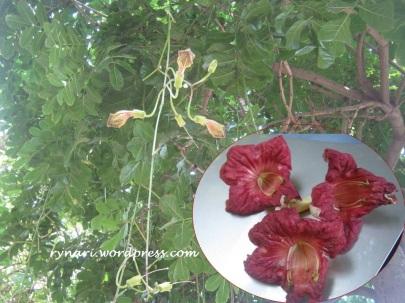 Tanaman buah sosis-flower (Salatiga)