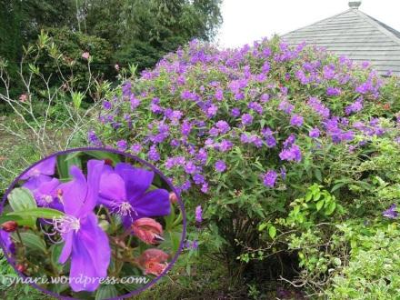 Ungu nan cantik di kebun Rumah Puisi