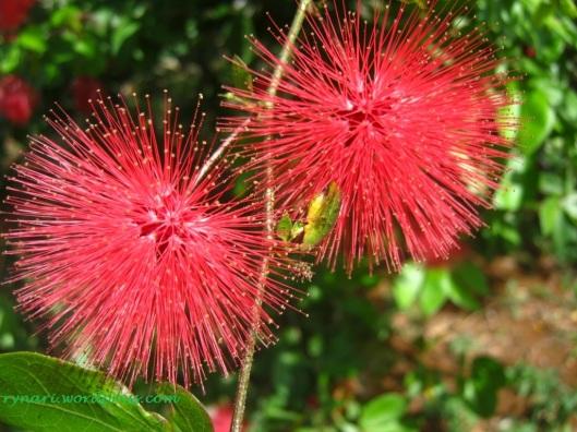 Bola-bola merah Calliandra sp