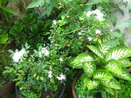 Sosok Kemuning (Murraya paniculata ) di kebun