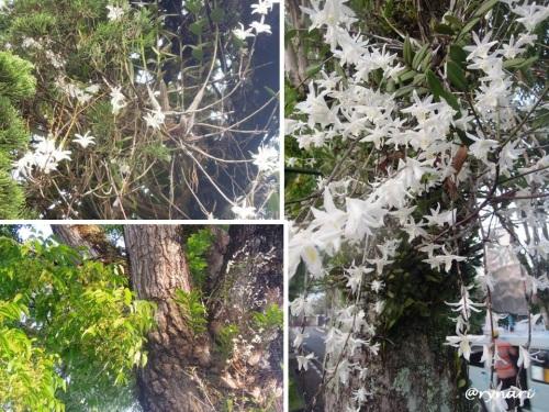 Anggrek merpati menempel di pohon cemara, mahoni maupun angsana