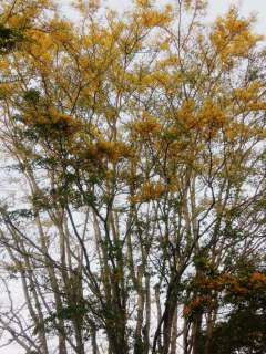 angsana si pohon  emas sumawur