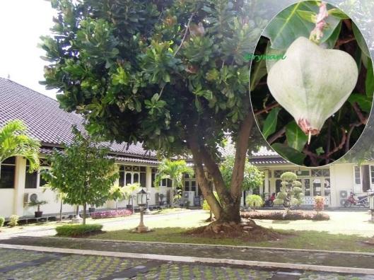 Pohon dan buah Keben di Kantor Gubernuran DIY