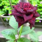 Sekuntum Mawar Merah