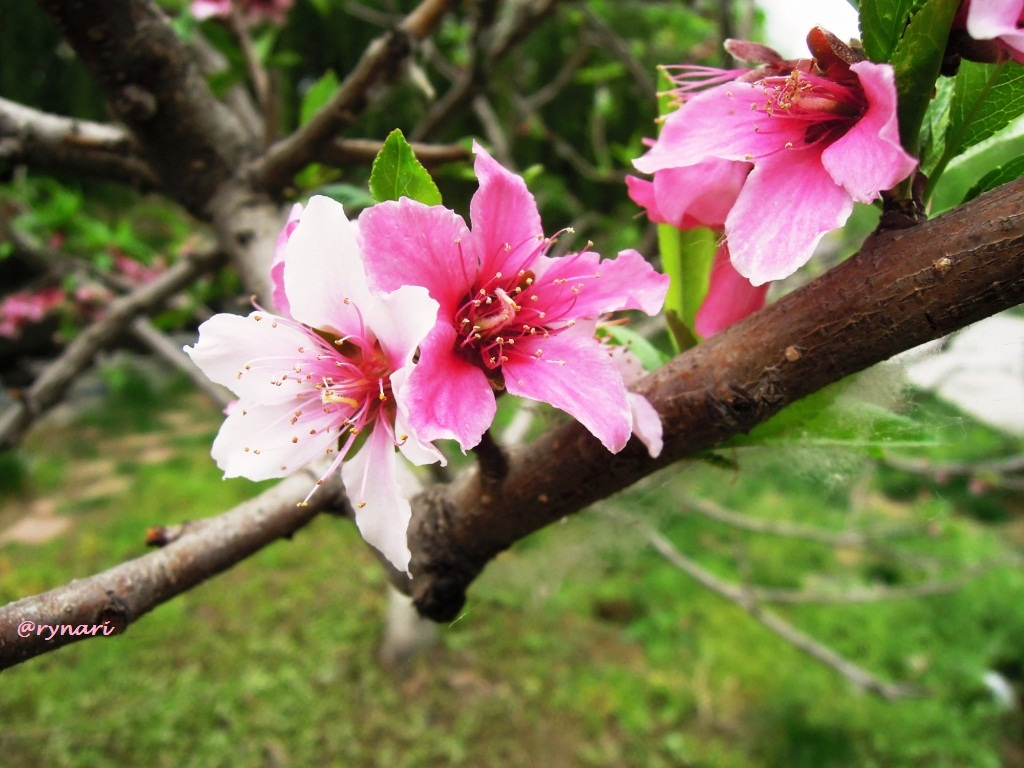 Peach bloosom spring