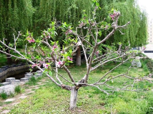 Rona persik di musim sepi