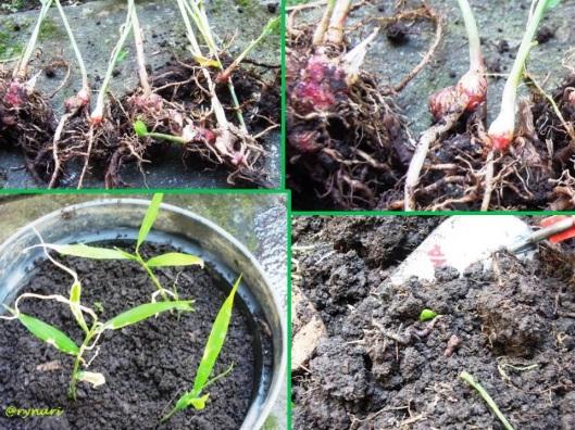 menanam jahe merah di pot