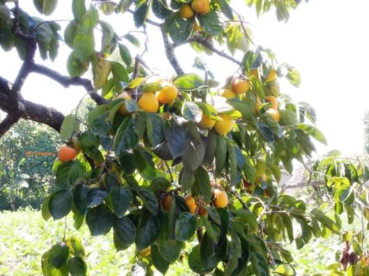 Dahan kesemek sarat buah