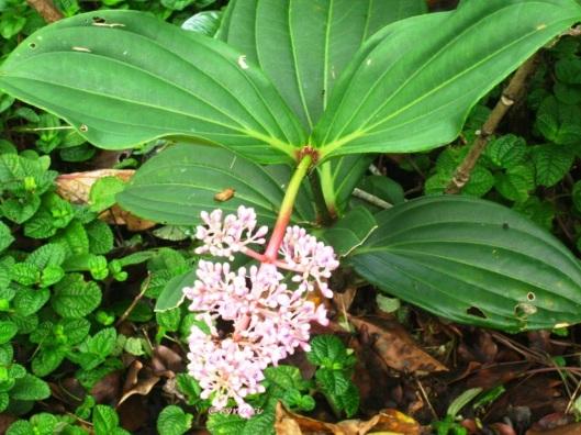 tumbuhan parijoto (Medinilla speciosa) di SBG