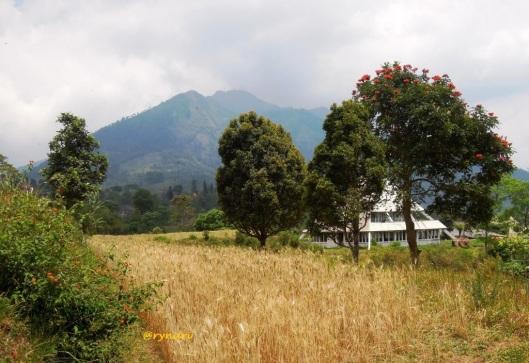Hamparan ladang gandum berlatar G. Telomoyo