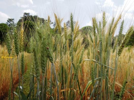 Malai gandum hijau menguning