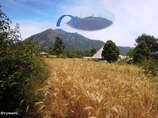 1. G Telomoyo dari ladang gandum