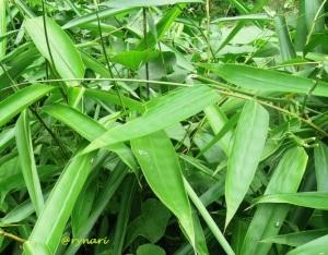 godhong pring aka daun bambu
